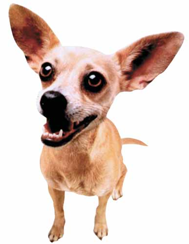 Taco_bell_chihuahua